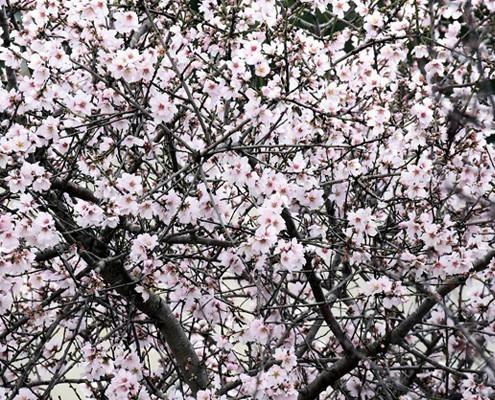 almendros-mallorca-hotel palma nakar almond blossom mallorca