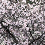 almond blossom mallorca Nakar